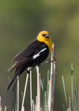 Yellow-headed Blackbird Royalty Free Stock Photo
