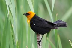 Yellow headed blackbird Royalty Free Stock Photography
