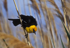 Yellow-headed Blackbird Royalty Free Stock Photos