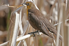 Yellow-headed Blackbird Stock Photo