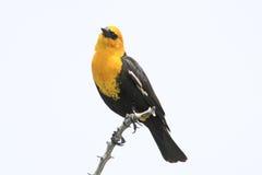 Free Yellow-headed Blackbird Royalty Free Stock Photos - 33424198