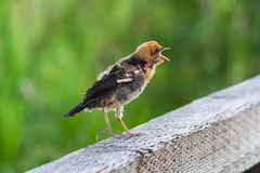 Yellow headed blackbird Stock Image