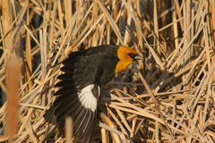 Yellow Headed Blackbird. A yellow headed black bird with one wing stretched out Stock Photos