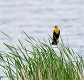 Yellow Headed Blackbird Against the Water. A yellow headed blackbird sits on reeds in front of the water Royalty Free Stock Images