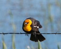 Yellow-headed Blackbird on barbed wire stock photos