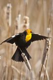 Yellow Headed Blackbird. Stock Images