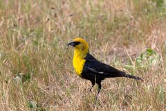 Yellow headed blackbird Royalty Free Stock Photo