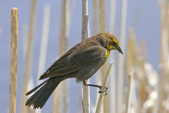 Yellow-headed Blackbird female Stock Images