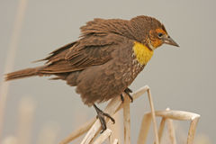 Yellow-headed Blackbird female Royalty Free Stock Photo