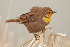 Yellow-headed Blackbird female Stock Image