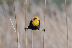 Yellow Headed Blackbird Hanging On Reeds Royalty Free Stock Photography