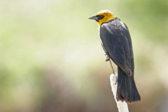 Yellow-headed Blackbird male Royalty Free Stock Photography