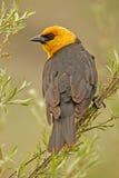 Yellow-headed Blackbird male Royalty Free Stock Photo