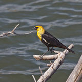 Yellow headed Blackbird Stock Photography