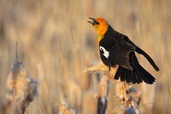 Yellow-headed Blackbird, Montana Royalty Free Stock Photos