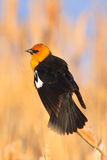 Yellow-headed Blackbird, Montana Stock Image