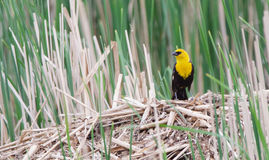 Yellow Headed Blackbird on a Muskrat House. A Yellow Headed Blackbird rests on a muskrat house in the wetland Stock Image