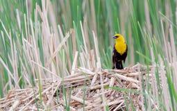 Yellow Headed Blackbird on a Muskrat House. Yellow headed blackbird sitting on a muskrat house Stock Photos