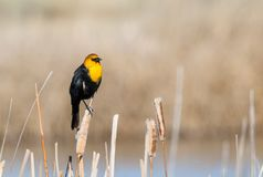 Yellow Headed Blackbird. A Yellow headed Blackbird perched on a cattail at Camas National Wildlife Refuge near Hamer, Idaho stock photography