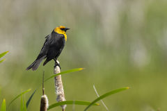 Yellow headed blackbird. Stock Photography