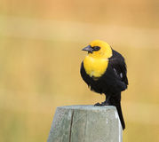 Yellow-headed blackbird perched on a fence post with brown backg Royalty Free Stock Image