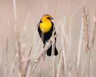 Yellow-headed blackbird perched in the reeds. Stock Image