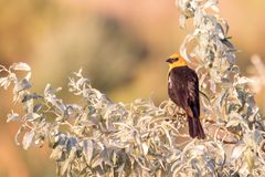 Yellow-headed blackbird perched on a tree a sunset royalty free stock images