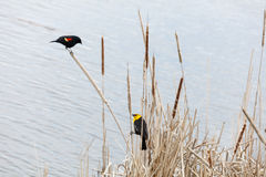 Yellow-headed blackbird and Red-winged blackbird Stock Photo