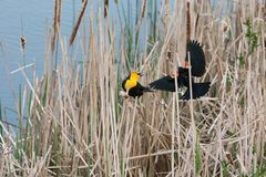 Yellow headed Blackbird and red winged blackbird. Fight for territory at Vancouver BC Canada stock photos