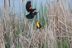 Yellow headed Blackbird and red winged blackbird Royalty Free Stock Photos