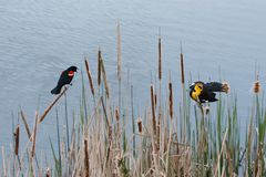 Yellow headed Blackbird and red winged blackbird Royalty Free Stock Photo