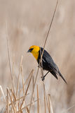 Yellow Headed Blackbird. On a reed Royalty Free Stock Photography