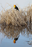 A yellow headed blackbird with it`s reflection in calm water Stock Photos