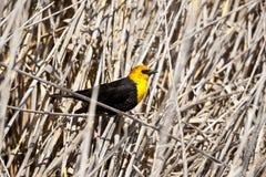 Yellow Headed Blackbird Royalty Free Stock Photography