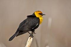 Yellow Headed Blackbird Stock Photos