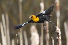 Free Yellow Headed Blackbird Takeoff Stock Photography - 56650292