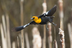 Yellow headed blackbird takeoff Stock Photography