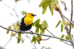 Yellow-headed blackbird Stock Images