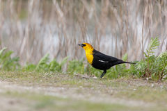 Yellow-headed blackbird Royalty Free Stock Images