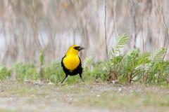 Yellow-headed blackbird Royalty Free Stock Photography