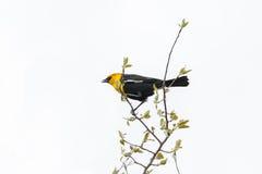 Yellow-headed blackbird Stock Image