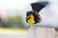 Yellow headed Blackbird Royalty Free Stock Photos
