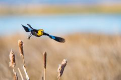 Yellow-headed Blackbird & x28;Xanthocephalus xanthocephalus& x29;. Yellow-headed Blackbird in flight over cattails in a prairie marshland, Alberta Canada Stock Photography