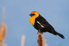 Yellow-headed Blackbird (Xanthocephalus xanthocephalus) Stock Photo