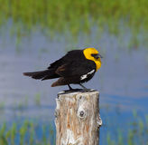 Yellow Headed Blackbird (Xanthoocephalus xanthocephalus) Stock Images