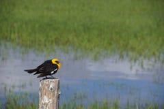 Yellow Headed Blackbird (Xanthoocephalus xanthocephalus) Stock Image