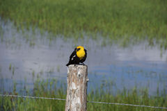 Yellow Headed Blackbird (Xanthoocephalus xanthocephalus) Royalty Free Stock Photography