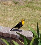 Yellow Headed Blackbird (Xanthoocephalus xanthocephalus) Stock Photo