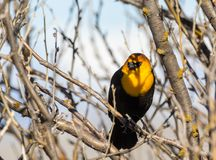 Yellow Headed Blackbird. A Yellow headed Blackbird perched in a tree at Camas National Wildlife Refuge near Hamer, Idaho royalty free stock photo