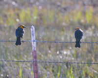 2 Yellow - Headed Blackbirds Royalty Free Stock Image
